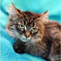 Котенок сибирячок Лексус в дар