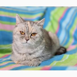 Шотландская кошечка Гюльчи ищет дом