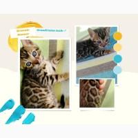 С родословными клубные бенгальские котята