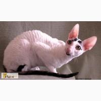 Кудрявые котята корниш рекс из питомника
