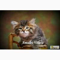Сибирские котята из питомника в Бердске