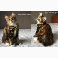 Полудлинношерстный котенок - кошечка Курильского бобтейла (с документами)
