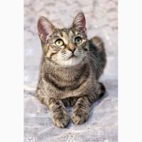 Котенок Шурочка забавная полосатка в дар