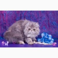 Котята экзотической и персидской породы из питомника Saigelan