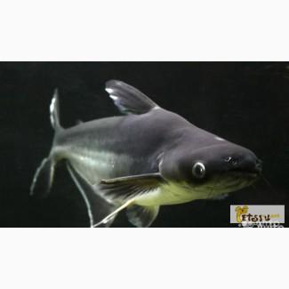 Пенгасиус (Акулий сом ) в Челябинске