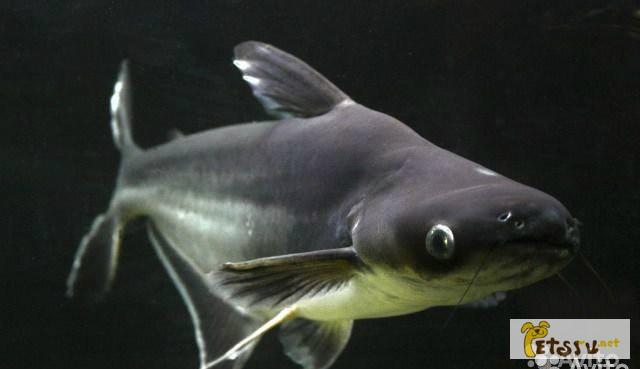 Фото 1/1. Пенгасиус (Акулий сом ) в Челябинске