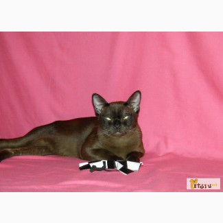 Бурманский котик, соболь в Челябинске