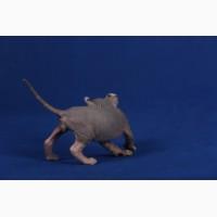 Аристократы среди животных-Эльф, бамбино, канадский сфинкс