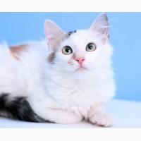 Котенок девочка необыкновенной красоты Юкка в дар