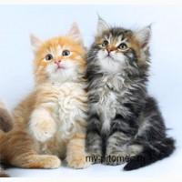 Сибирские котята в Москве питомник