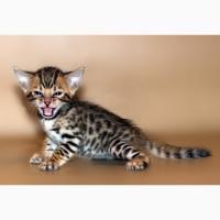 Котята породы Саванна - питомник Shine Golden Irbis