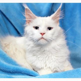 Мейн-кун Кай - кот в добрые руки