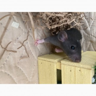 Крысята(мальчики)