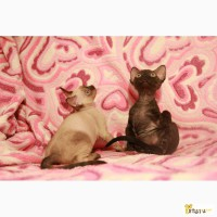 Девон Рекс котята - эльфы с волнистой шерстью, и большими глазами