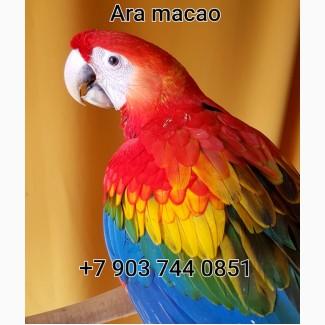 Ручные птенцы красный ара (ara macao) из питомников Европы