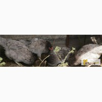 Продам курочек доминант разных окрасов в Домодедово