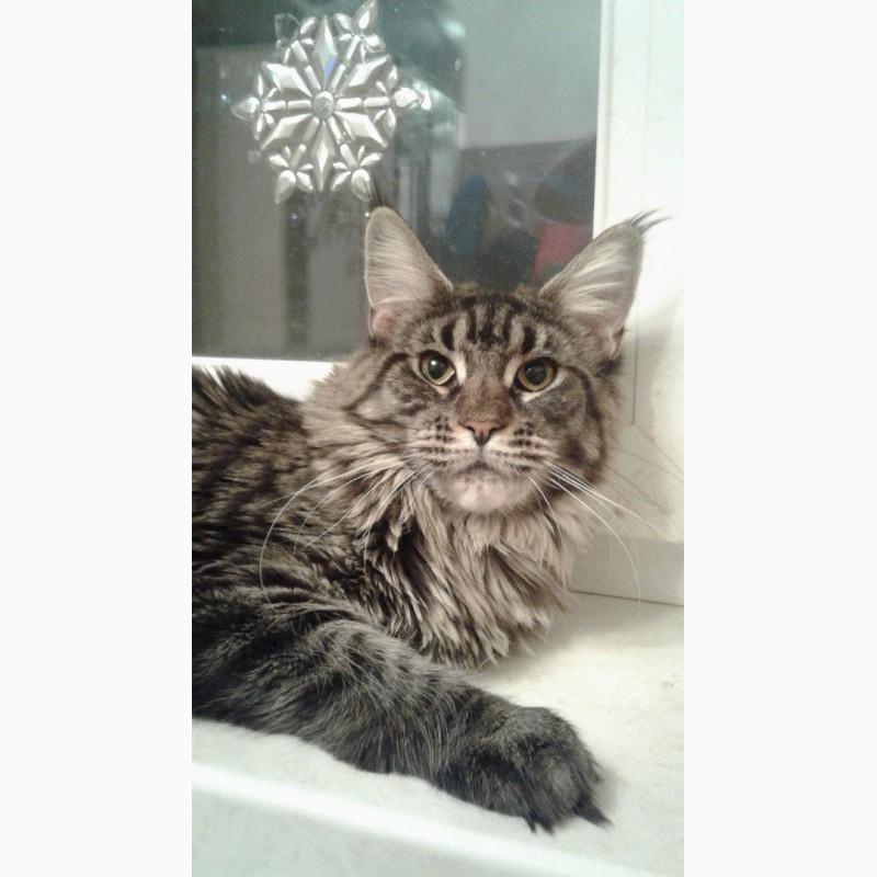 Фото 1/3. Кошка мейн-кун 1 год