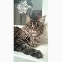 Кошка мейн-кун 1 год