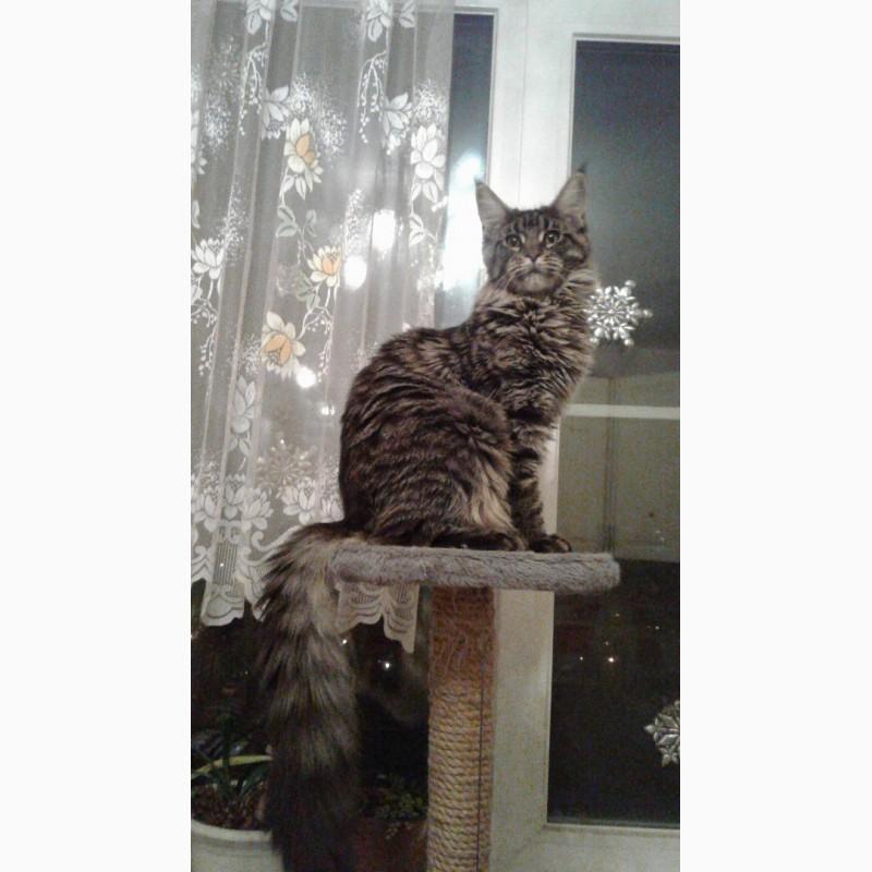 Фото 2/3. Кошка мейн-кун 1 год