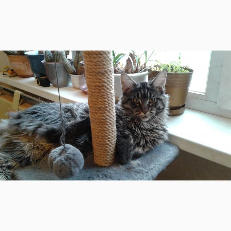 Фото 3/3. Кошка мейн-кун 1 год