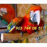 Тропикана гибрид попугаев ара - птенцы из питомников Европы
