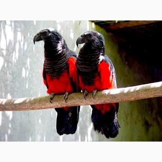 Грифовый или щетиноголовый попугай ручные птенцы из питомника