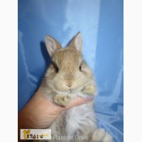 Кролики карликовые цветные