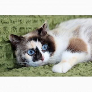 Котенок голубоглазка Тереза в добрые руки