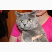 Британская кошка Кристи ищет надежных хозяев