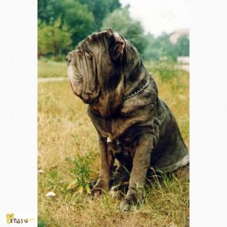 Мастино наполетано высокопородные щенки