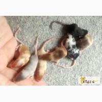 Сатиновые мышки