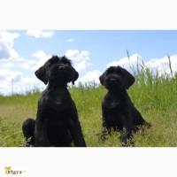 Ризеншнауцера щенки