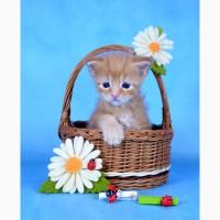 Мейн-кун - крупные, яркие, красивые котята