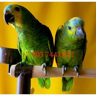 Amazona aestiva aestiva - ручные птенцы из европейских питомников
