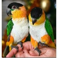 Черношапочный попугай или каик