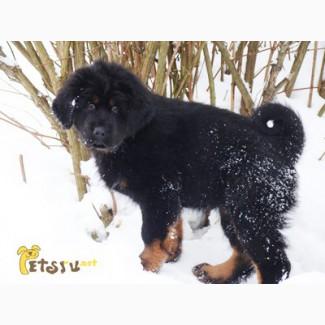 Тибетский мастиф щенки. Питомник Имгосбулл