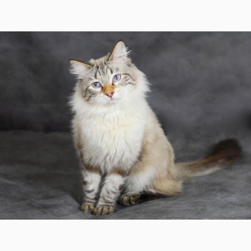 Фото 1/2. Красивый Невский Маскарадный котик из питомника
