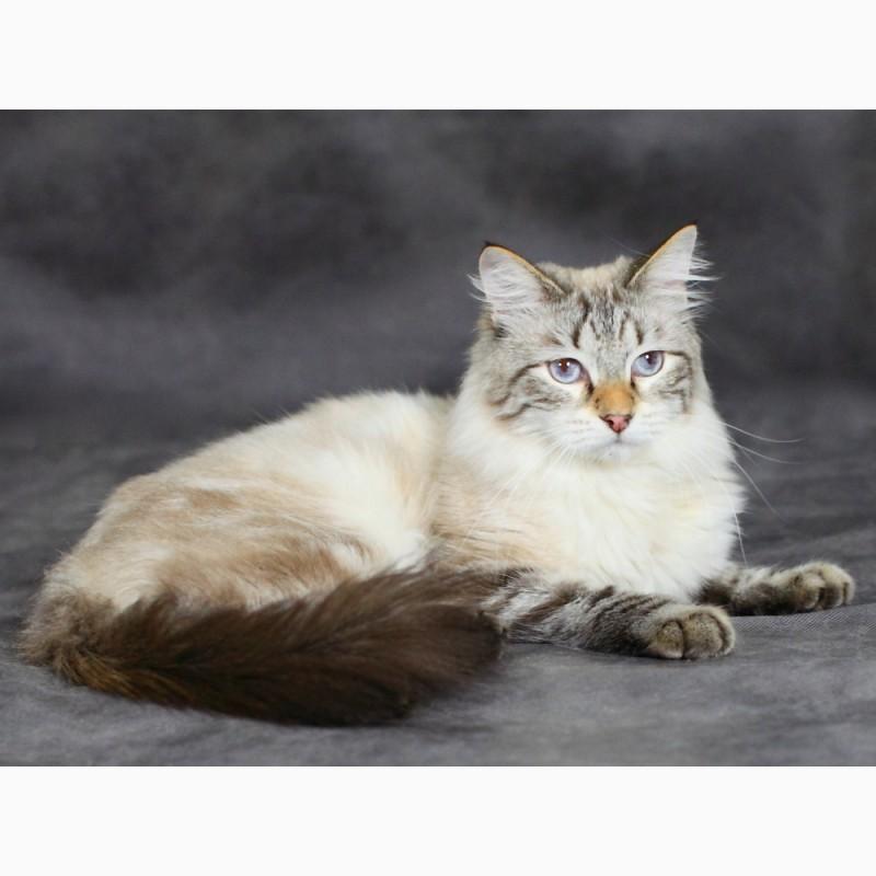 Фото 2/2. Красивый Невский Маскарадный котик из питомника
