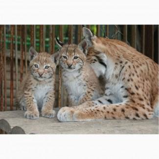 Рысь сибирская - котята выкормыши