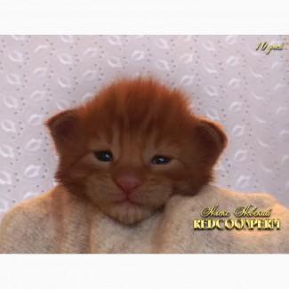 Котёнок мейн кун красный солид. Шоу класс