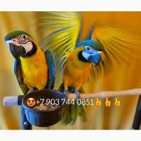 Ручные птенцы сине-жёлтый ара (ara ararauna) из питомника