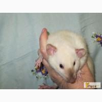 Крысы декоративные малыши