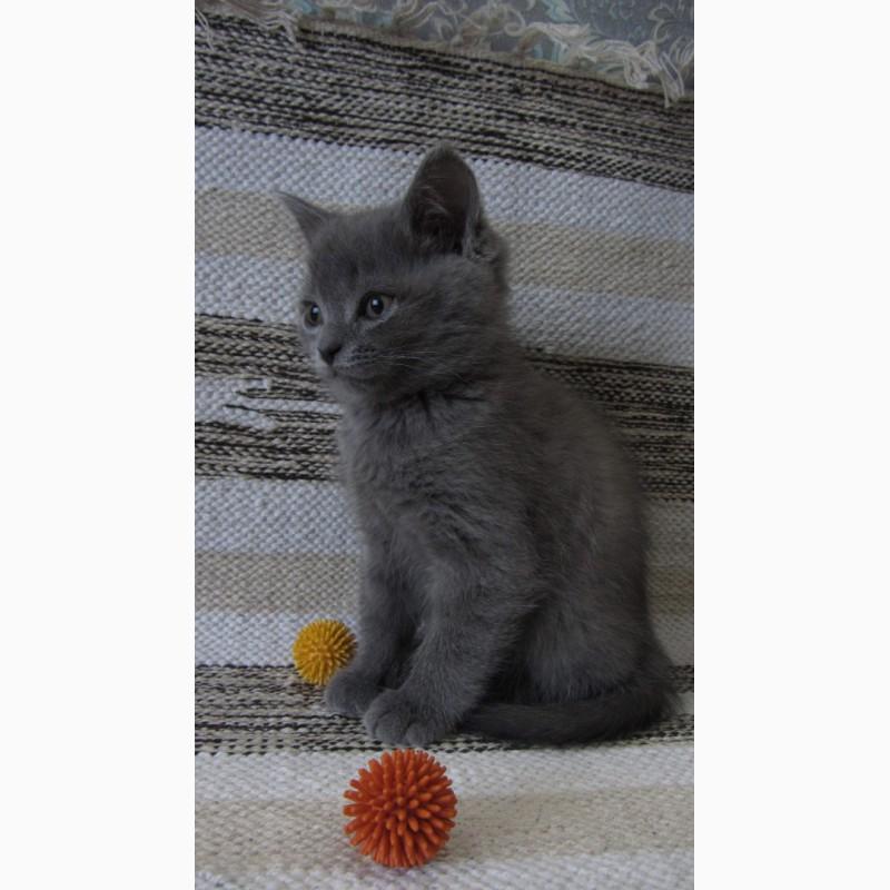 Фото 2/3. Британский котенок
