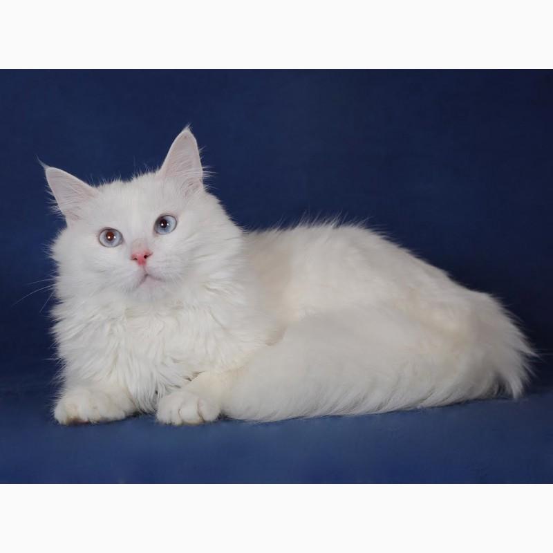 Фото 1/3. Голубоглазый сибирский котик