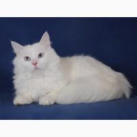 Голубоглазый сибирский котик