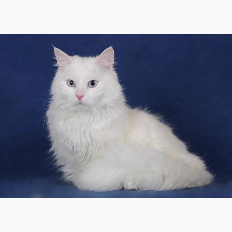 Фото 2/3. Голубоглазый сибирский котик