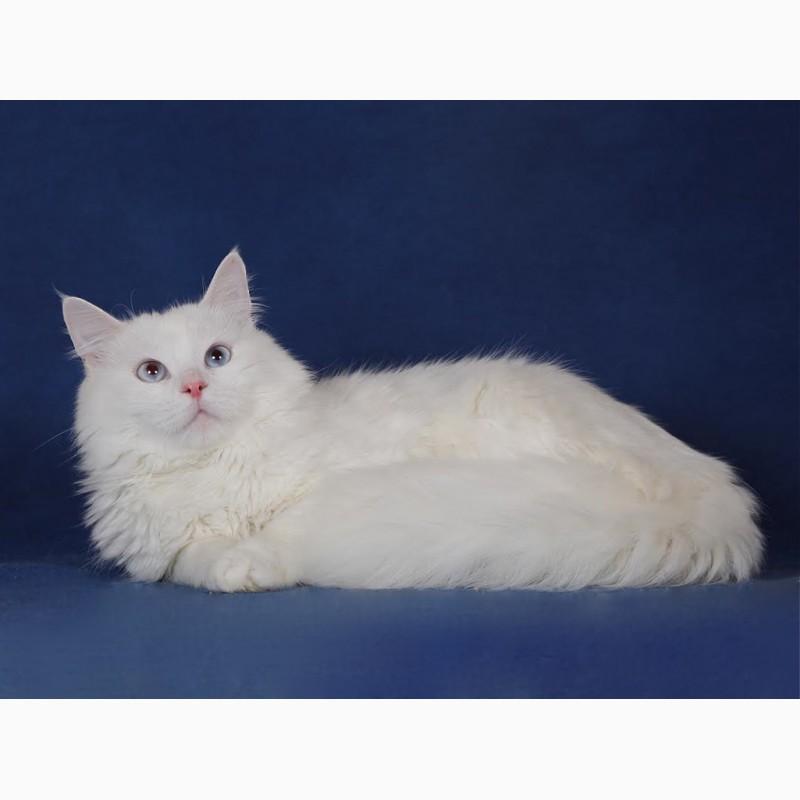 Фото 3/3. Голубоглазый сибирский котик