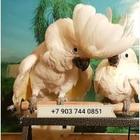 Абсолютно ручные птенцы белохохлого какаду из питомников Европы