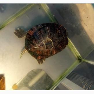 Отдам черепаху