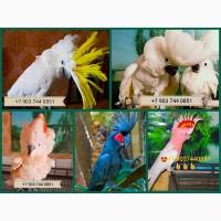 Выкормыши попугаев какаду из питомника
